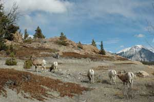 Bighorn Ewes and Lambs - Wildlife in Willmore Wilderness Park